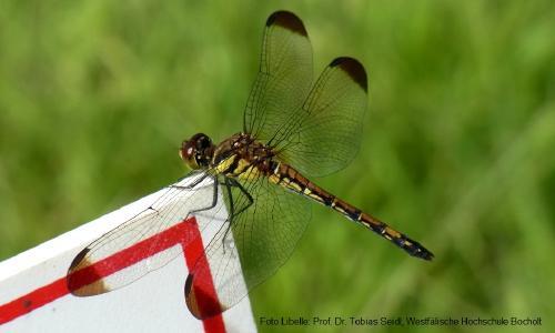 Bionik-Beispiel Libelle: Vorbild des Hubschrauber-Prinzips / Foto: Tobias Seidl