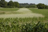 Jagdschneisen: Die Jagd im Mais ist von Mai bis Oktober möglich (Quelle: DJV)