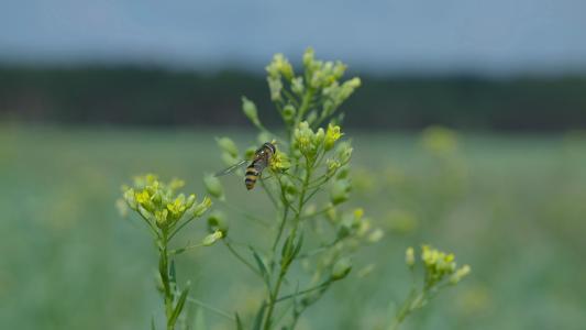 Blühender Leindotter, Foto Leindotter Samen und Öl