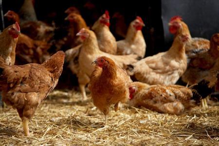 Aus Hühnermist wird Elektrizität und Wärme – ein intelligentes Kreislaufverfahren, das jetzt in einer schottischen Hühnerfarm zum Einsatz kommt, macht es möglich / Foto: 3M