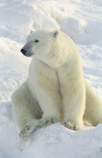 RealVNC Helps Keep Track Of Polar Bears