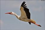 Majestätisch fliegt der Storch durch die Lüfte