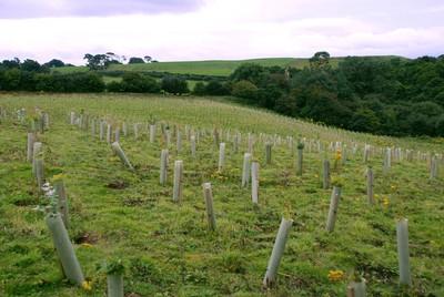 """Der neu gepflanzte """"OKI Wald"""" im englischen Sand Martin Wood in Cumbria"""