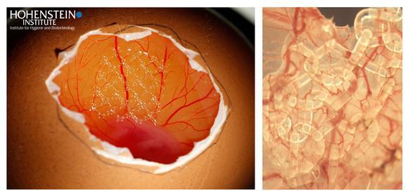 Abb. 5: Bebrütetes Hühnerei im CAM-Angiogenese-Modell (links). Gerichtete Neubildung von Blutgefäßen in ein mit Stammzellen besiedeltes textiles Implantat (rechts), Bild: Hohenstein Institute (Institut für Hygiene und Biotechnologie)