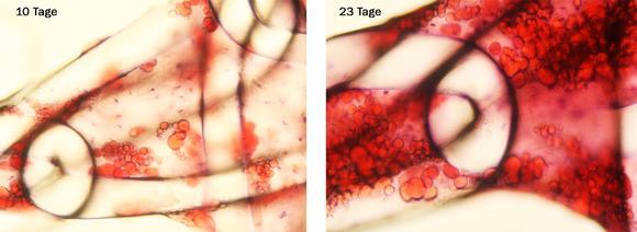 Abb. 1: Humane adulte Stammzellen, angesiedelt auf einem Textilimplantat. Im Lichtmikroskop ist die Differenzierung der Stammzellen in Fettzellen nach 10 Tagen (links) sowie nach 23 Tagen (rechts) deutlich zu erkennen, Bild: Hohenstein Institute (Institut für Hygiene und Biotechnologie)