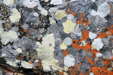 Flechtenmosaik auf Granitfels, Cape Point, Südafrika. ©B. Weber