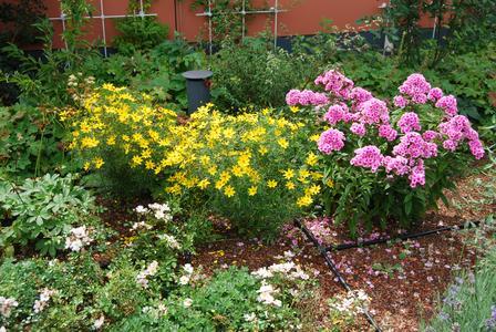 """Dank ZinCo Systemaufbau und Tropfschlauchbewässerung stehen """"Mädchenauge"""" (gelbblühend), """"Phlox"""" (lila-blühend) und andere Dachpflanzen in voller Blüte."""
