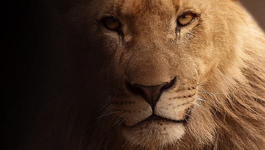 Der König der Tiere....