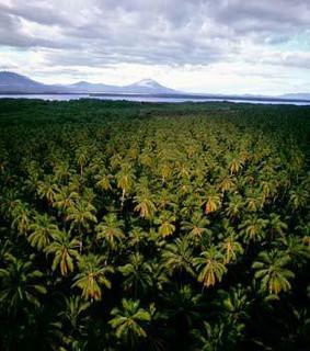 Beispielsweise Ölpalmen:Der«Sustainability Quick Check for Biofuels»ermöglicht esProduzenten in Entwicklungsländern,dieKompatibilität ihrerBiotreibstoffe mit den Kriterien für eineNachhaltigkeitszertifizierung zu überprüfen (F:iStock)