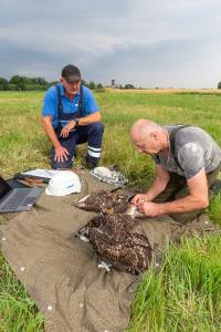WEMAG-Mitarbeiter Holger Külper (li.) assistiert Torsten Marczak beim Beringen der jungen Fischadler. Foto: WEMAG/Stephan Rudolph-Kramer