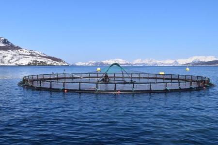 In solchen Käfigen werden die Fische aufgezogen (Foto: Stoeck)