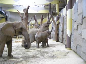 Gut gelaunt: Dickhäuter im neu renovierten Elefantenhaus des Wiener Tiergartens Schönbrunn