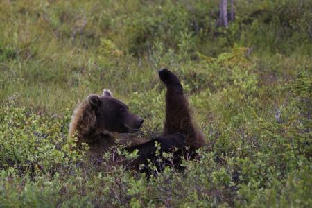 Grizzlybaer (Copyright: Wilderness International)