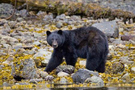 Copyright: Wilderness International Schwarzbaer