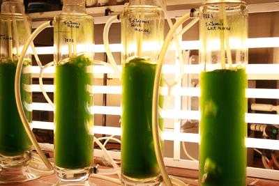 Mikroalgen im Blasensäulenreaktor