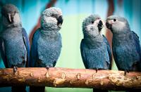 World sensation: The Spix's Macaw is back