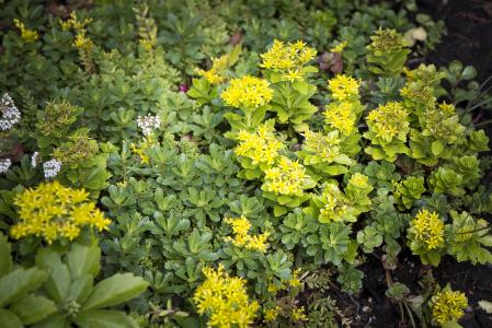 "White stonecrop (Sedum album) is found among the Little evergreen stonecrop (Sedum hybridum ""immergrünchen"") with its yellow flower and Japanese spurge (Pachysandra terminalis) / Source: Brett Ryan Studios, Vancouver"