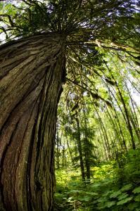 Die heiligen Baeume der Indianervoelker der Westkueste sind die Riesenlebensbaeume (Copyright: Wilderness International Reinhard Mink )