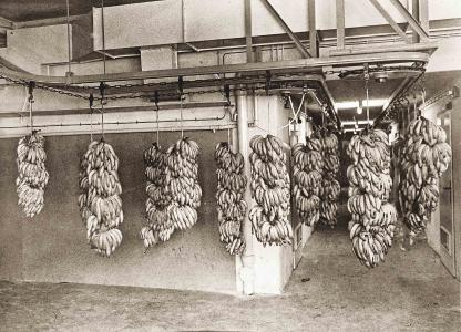 Ein spektakulärer Anblick: Der Stöhrsche Kreistransporteur beförderte 30 bis 50 Kilogramm schwere Bananenstauden an der Decke. (Foto: Dematic)