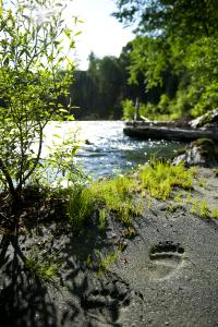 Es nicht so leicht Bärenspuren am Fluss aufzuspueren (Copyright: Sami Fayed Wilderness International)