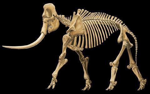 Rekonstruktion des Skeletts des Europäischen Waldelefanten auf Grundlage der Funde von Neumark-Nord. Urheber: Karol Schauer / © LDA Sachsen-Anhalt