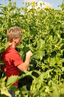 Biogasanlagenbetreiber und Landwirt Guido Mayer inmitten der Durchwachsenen Silphie