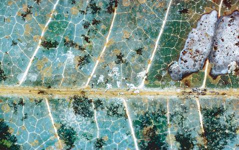 Teeblatt mit auf der Oberfläche wachsenden Grünalgen der Gattung Cephaleuros sp. (runde gelb-orangefarbene Flecke), Lebermoosen (schwarzbraune Struktur mit dünnen Ästen) und Flechten (grau und weiß). ©B. Büdel