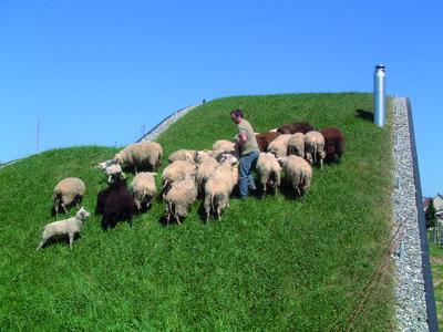 """Dieses Rasendach wird ebenfalls """"intensiv"""" genutzt ? die Schafe in Rheinfelden freuen sich"""