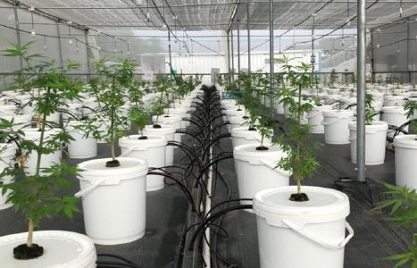 Marihuana-Pflanzen; Foto: Khiron Life Sciences