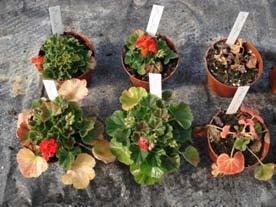 Feldversuche im Allwetterhaus nach 14 Wochen Heizbetrieb Pelargonien Links und Mitte: beheizt, Rechts: unbeheizt (© Hohenstein Institute)