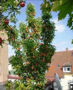 Erntezeit auf diesem Nutzgarten in Karlsruhe: neben rotbackigen Äpfel gibt es allerlei Gemüse vom Wirsing bis zum Blumenkohl, Quelle: ZinCo