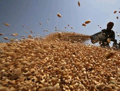 Ungünstige Witterung könnte Indien zu umfangreichen Weizenimporten zwingen