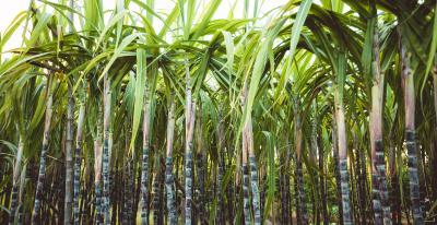 Nachwachsender Rohstoff: Biobasierte PE-Schutzfolien von POLIFILM PROTECTION werden aus Zuckerrohr hergestellt. Die Folge: eine optimale Klimabilanz.