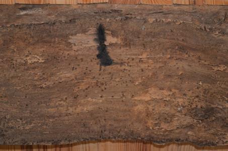 Unzählige ehemalige Larvennester zeugen von massivem Schädlingsbefall, der der Tragfähigkeit des unbehandelten Eichenholzes über die Jahrhunderte hinweg jedoch nichts anhaben konnte. Foto: Achim Zielke