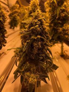 Cannabispflanze im Orbitalgarten kurz vor der Ernte: Fast vollständige Knospe