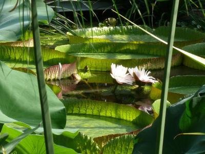 Riesenseerose  Victoria cruziana (Foto: Botanischer Garten)