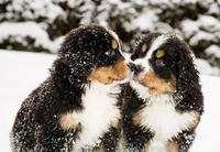 Hunde durch den Winter