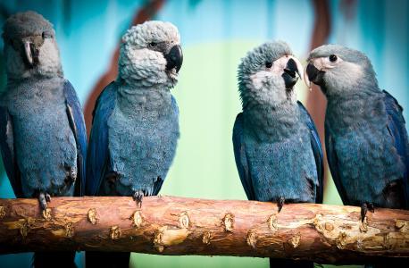 Eine Gruppe von jungen Spix-Ara-Papageien bei ACTP