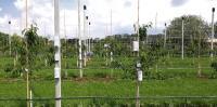 Paarweise direkt am Baum und etwas abseits davon angeordnete Funksensormodule, mit denen Lufttemperatur, Luft- und Blattfeuchte zum Monitoring des Mikroklimas in einer Obstanlage am Lehr- und Versuchszentrum Gartenbau Erfurt gemessen werden. Foto: IMMS.