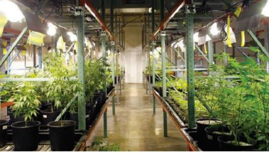 Medizinisches Cannabis; Foto: Chemesis