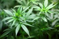 Marihuanapflanzen; Quelle: pixabay