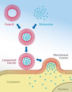 Membrane fusion using ibidi's Fuse-It reagents