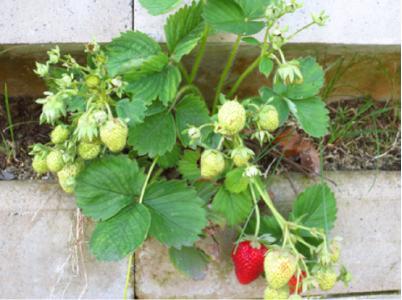 Ob zur Gestaltung oder als vertikaler Kräutergarten – mit Biolit Vertical Green® wird eine Wand auf Balkon- oder Terrassenflächen zum Naschgarten mit zusätzlicher Anbaufläche / Foto: UNIKA