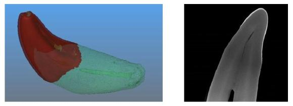 Above are CT images of a juvenile California Sea Lion tooth. The left offers a view of the tooth enamel highlighted in red, and to the left is a cross sectional view of the tooth
