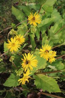 Die Siphie blüht von Juli bis September in einer Zeit, in der ansonsten wenig Pflanzen blühen. Sie ist für Bienen und Insekten daher wichtiger Nahrungslieferant.
