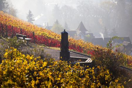 Das Laub der Reben in den letzten Strahlen der Herbstsonne - atemberaubende Farbenspiele in Rot und Gelb.